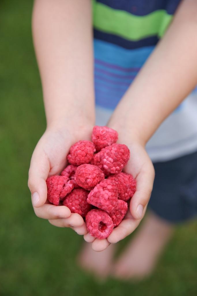 hands holding freeze dried raspberries