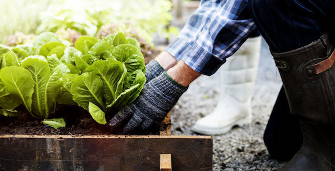 A person wearing gardening gloves tending to a plant in a garden bed