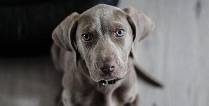 a grey dog